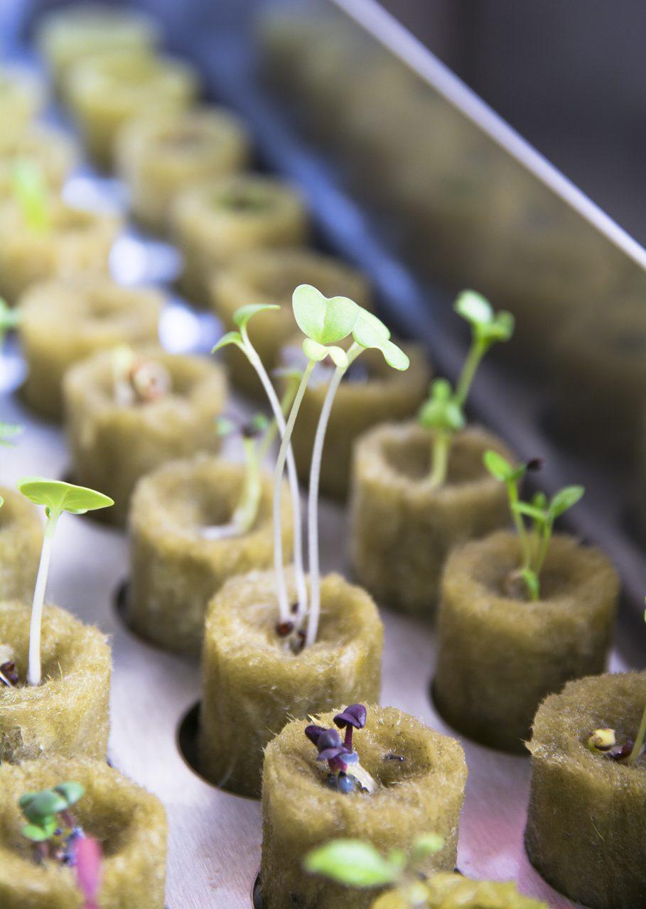 Natufia seedlings in the kitchen garden nursery