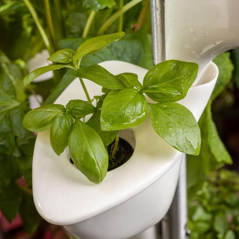 Natufia basil genovese grown in the ceramic cups in the kitchen garden