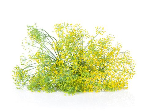 Fresh garden herbs. Blossom dill. Isolated on white background